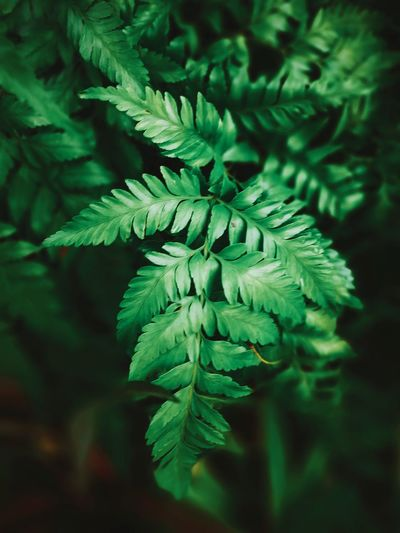 Greenleaf by Huawei mate9 Huaweiphotography Mate9 Huaweimate9 Randoms Green Color Leaf Plant No People Pine Tree Pinaceae Nature Beauty In Nature Day Outdoors Close-up