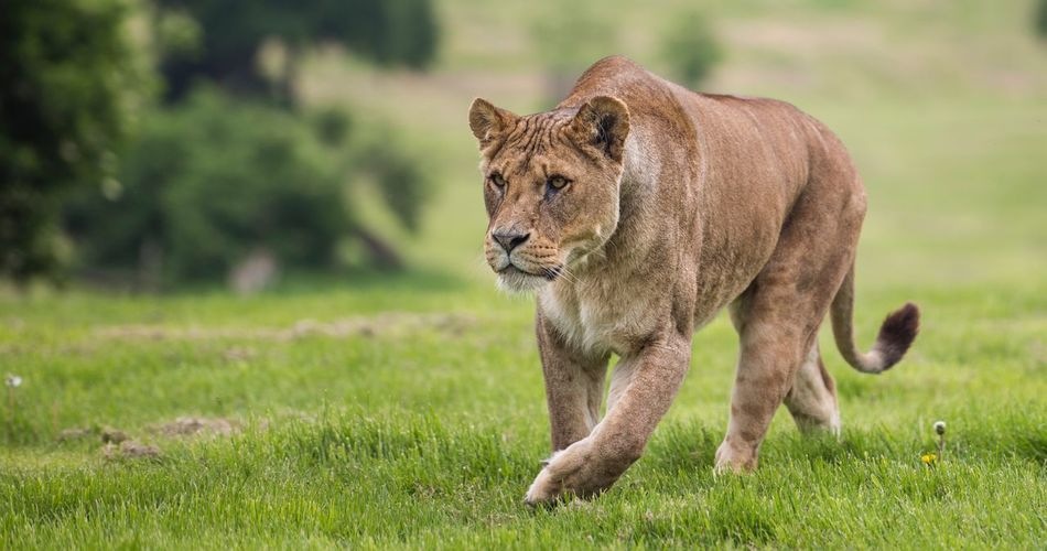 Lioness walking on grassy field