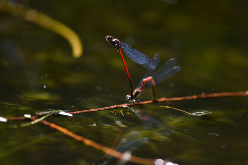 Damselflies on stick in pond