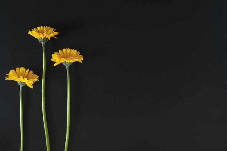 Three Yellow
