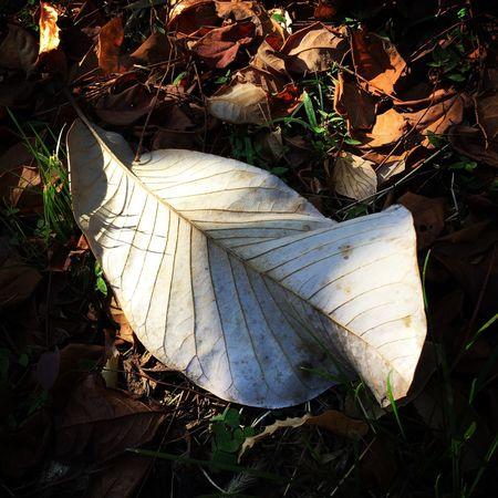 落葉 枯葉 朴の葉
