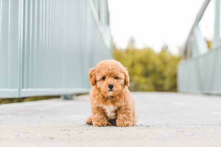 Cute brown hairy puppy sitting on footpath