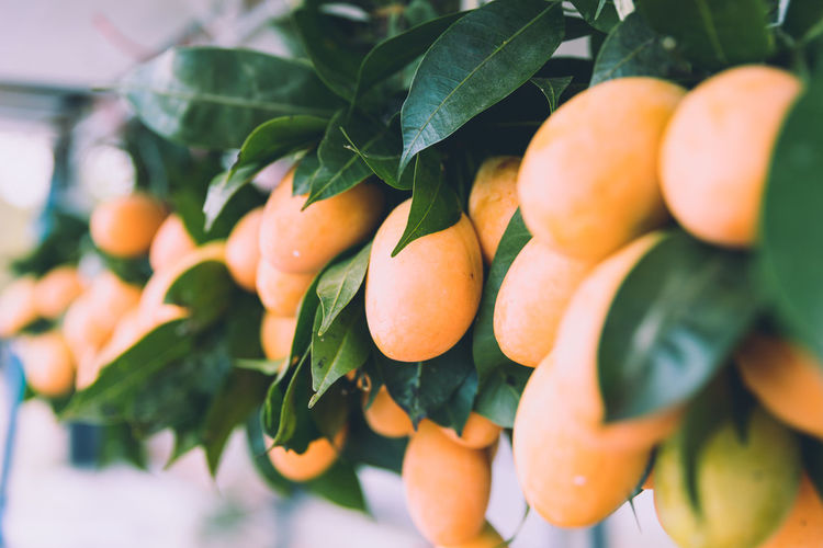 Maprang or Marian plum in Thailand Fruit Healthy Eating Freshness Leaf Orange Color Plant Part Close-up Wellbeing Orange Green Color No People Ripe Sweet Fruit Maprang Marian Plum Nature Day Orange - Fruit