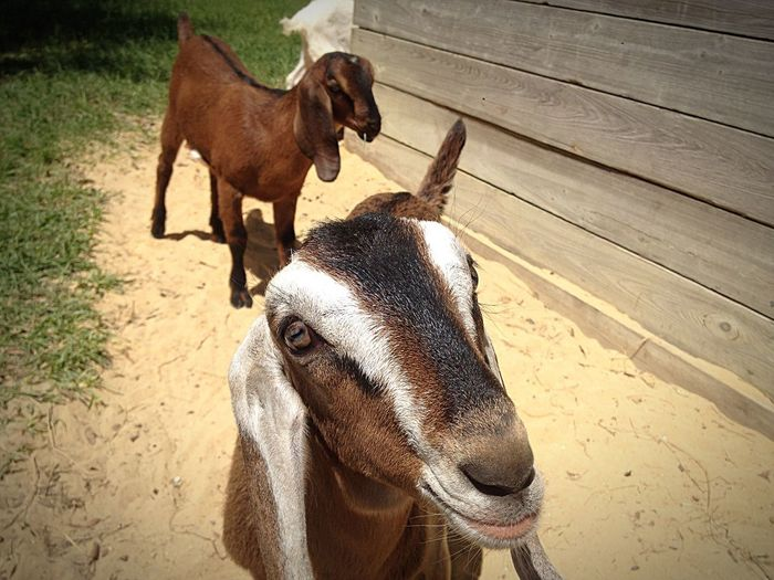 Serenitygoats Farmersonly Goat Life Goatfarm Goat Lovable Pets! Animal_collection Animal Photography Serenityacres Pets Cute Lovable Lovable Pets Smile Cute Pets Animal In The Sun