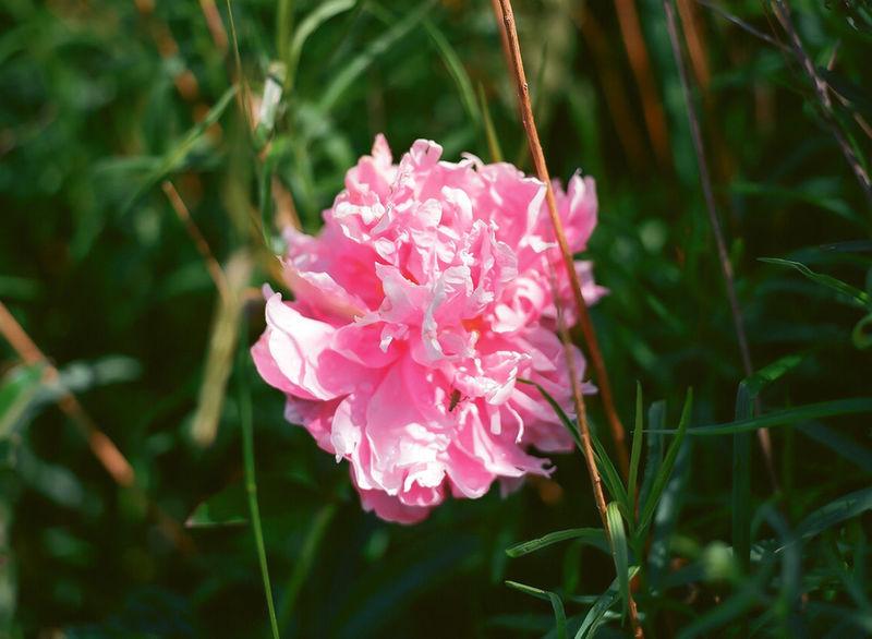 Pink On Green Flower Pink Flower Contrast Centered Medium Format Mamiya M645 1000s MAMIYA645 Film Photography Film Ektar100 Mamiya 645