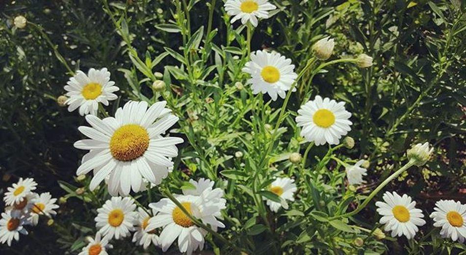Spring-summer '16 Margaritas Daisy SS16