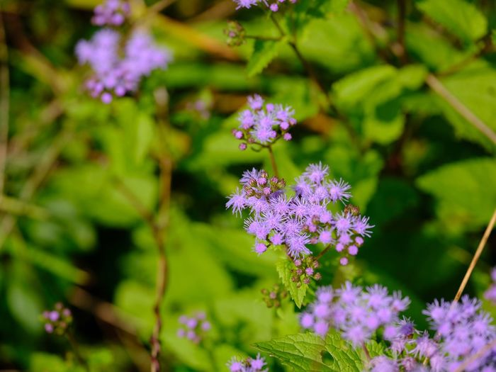 Patrinia scabiosifolia アゲラタム Patrinia Scabiosifolia Flowering Plant Flower Plant Fragility Vulnerability  Beauty In Nature Growth Purple Green Color No People Outdoors