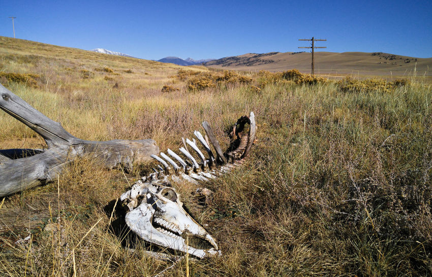 Left Behind Bones Colorado Death EyeEmNewHere Skeleton Arid Climate Bleached Carcass Cattle Cow Grass Landscape Mountains Nature Outdoors Skull Western