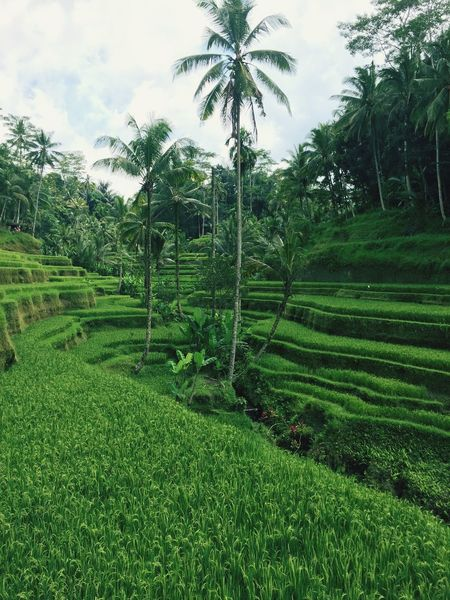 Growth Palm Tree Agriculture Rice Paddy Field Nature Tree Landscape Beauty In Nature Rice - Cereal Plant Terraced Field Rural Scene Outdoors Green Color Tranquility The Traveler - 2018 EyeEm Awards