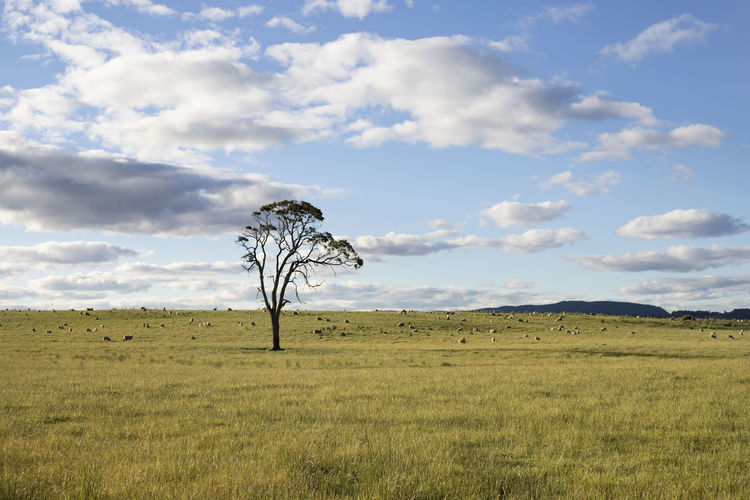A lonely tree in a wide open field. Australia Tree Beauty In Nature Cloud - Sky Day Environment Field Grass Horizon Horizon Over Land Land Landscape Nature No People Non-urban Scene Outdoors Plant Scenics - Nature Sky Tranquil Scene Tranquility First Eyeem Photo