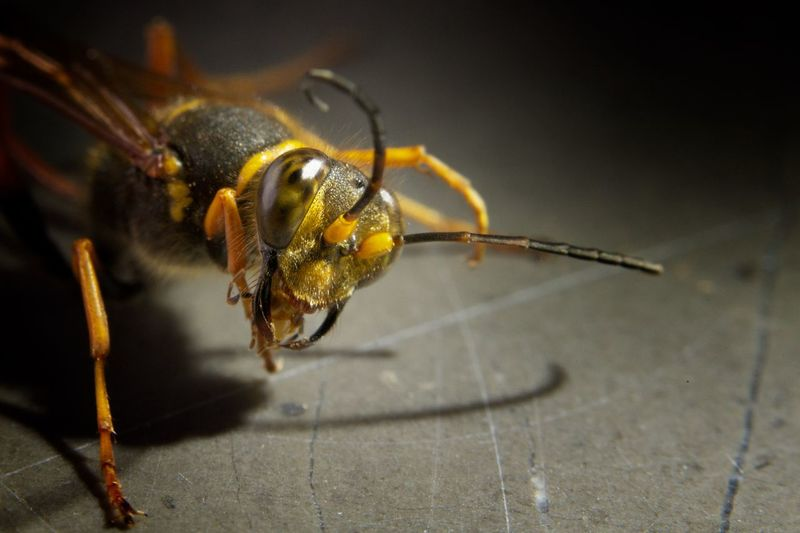 Animal Antenna Animal Themes Animal Wildlife Antenna Bite Close-up Day EyeEm Best Shots EyeEm Gallery EyeEm Nature Lover Eyes Insect Macro Macro Insects Macro Photography Macro_collection Nature No People Observing One Animal Studio Shot Wasp Water Yellow Yellow Color