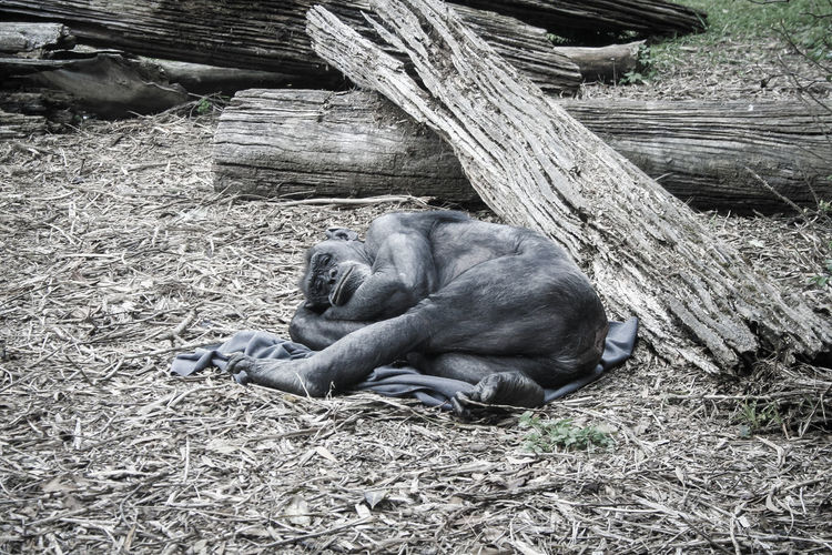 High angle view of chimpanzee sleeping in forest