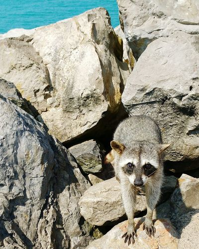 High Angle View Of Raccoon On Rock During Sunny Day
