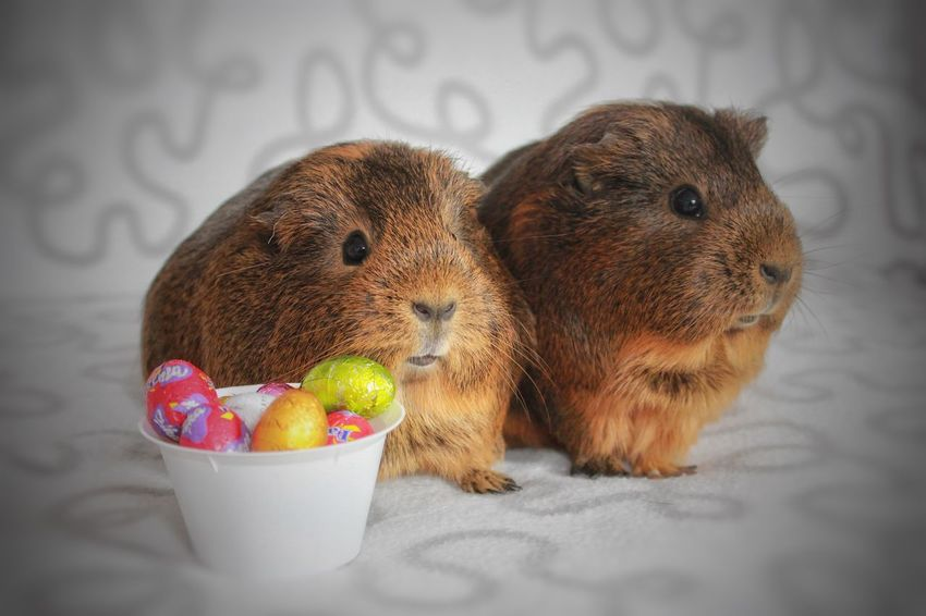 East Guinea Pig Animal Animal Themes Cute Domestic Animals Guineapig Pets