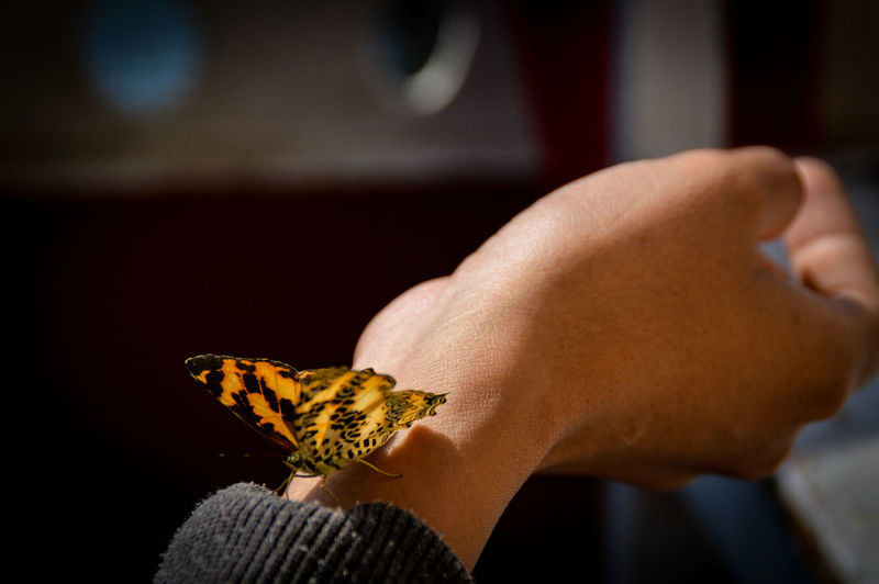 Close-up of a butterfly on human hand