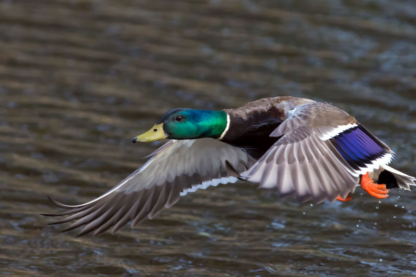 Mallard Duck take off and Landing Animal Themes Animal Wildlife Animals In The Wild Beauty In Nature Bird Bird Photography Bird Taking Off From The Water Birds In Flight Birds In Water Birds Of EyeEm  Birds_collection Birds🐦⛅ Birdwatching Close-up Colorful Day Duck Lake Mallard Duck Nature No People One Animal Outdoors Pattern Water