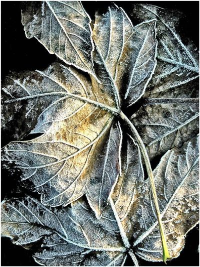 Leaves chained cold Frozen Nature Plant Winter Art Cold Color Leaves