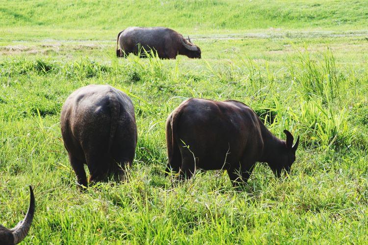 EyeEm Selects Animal Wildlife Grass Animals In The Wild Hello World Buffalo Thailand