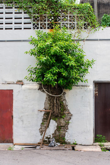 Large bush growiing from exposed brick work of old white plastered wall. Background Brick Brick Work Bricks Brickwork  Bush Cracked Exposed Exterior Wall Growing Old Outdoors Overgrown Painted Pavement Plant Plaster Plastered Roots Sidewalk Street Texture Tree Wall Weed White Wash Wihite Architecture Building Exterior Built Structure Growth Day Building Green Color Nature No People Plant Part Leaf City Footpath Wall - Building Feature Potted Plant House