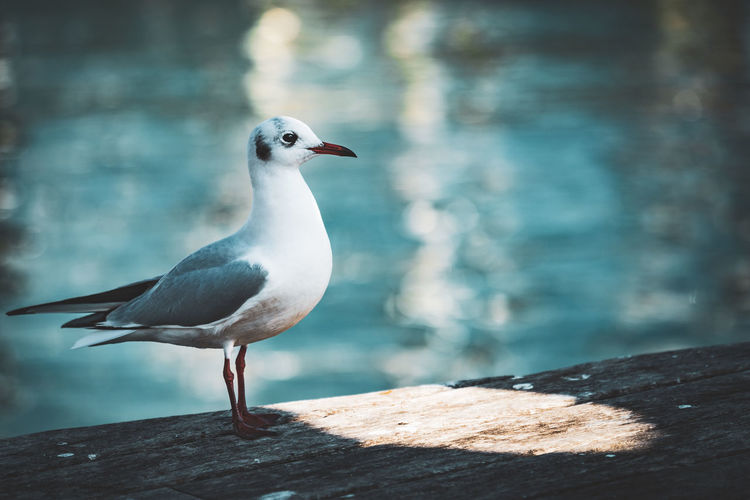 Close-up of seagull perching on rock by sea