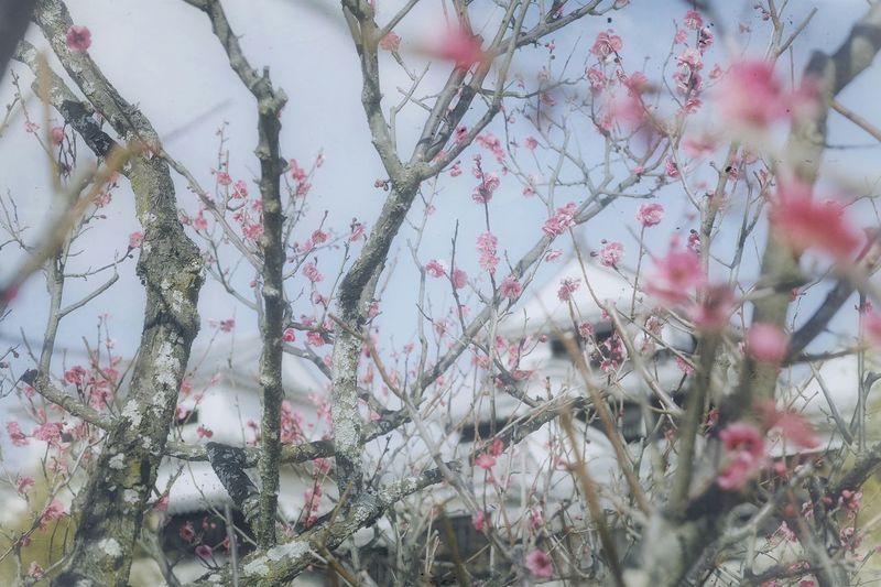 梅の花 Plum Blossoms Matsuyama Travel Blossom Flowers Branches Trees Spring Coming Soon Pastel Power Hello World Enjoying Life EyeEm Nature Lover EyeEm Best Edits 松山城 Matsuyama Castle Matsuyama-shi