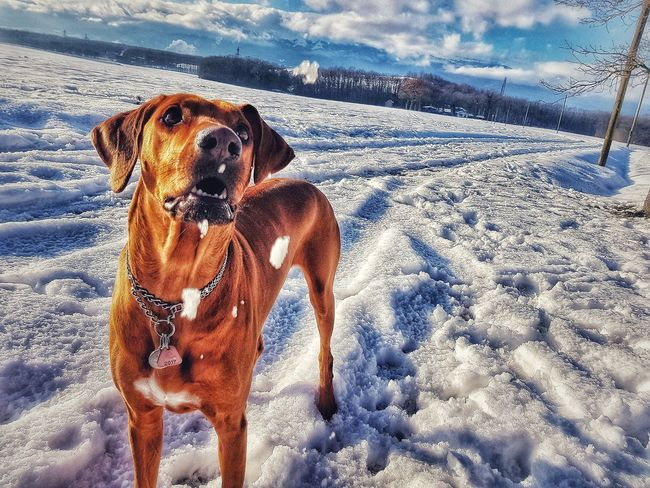 Nesta in the snow Rhodesian Ridgeback Rhodesian Ridgeback Rhodessian Ridgeback Dog Dog Dogs Doginthesnow Chien♥ Chiens Neige Neige❄ Geneva Dogface Dog Love Dogs Domestic Animals Dogs Of EyeEm Dogslife Beach Sand Close-up Snow Covered