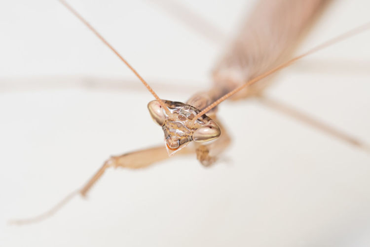 Close up of a praying mantis on a white background Macro Photography Art And Craft Close-up Connection Copy Space Craft Day Focus On Foreground High Angle View Indoors  Insect Insects  Macro World Macro World Macro Beauty No People Praying Mantis Selective Focus Single Object Still Life Studio Shot Tangled Textile Thread White Background Wool