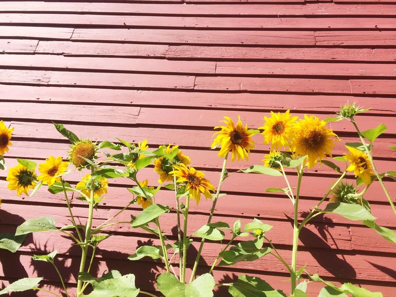 Flower Plant Fragility Outdoors Freshness No People Growth Leaf Day Nature Yellow Beauty In Nature Close-up Building Exterior Flower Head Window Box Architecture Vermont Shelburne Mix Yourself A Good Time