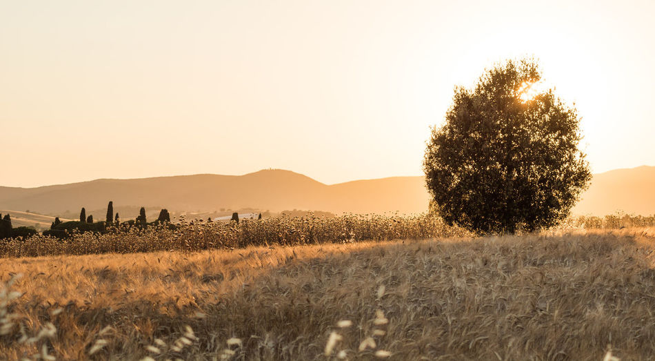 Wheat Field Wheat Field In Summer Wheat Field Sunset Tuscany Sunset Tuscany Field Plant Sky Land Landscape Environment Scenics - Nature Tree Beauty In Nature Tranquility Tranquil Scene Nature Agriculture Growth Rural Scene Sunset Mountain Clear Sky No People Grass Outdoors
