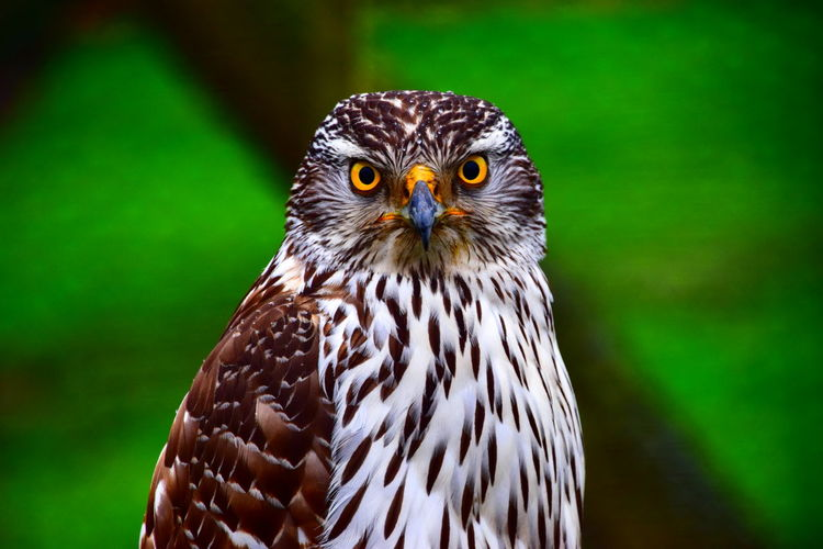 Looking At Camera NikonD3300📷 Animal Animal Head  Bird Bird Of Prey Eagle Looking At Camera Nikonphotography Wildlife