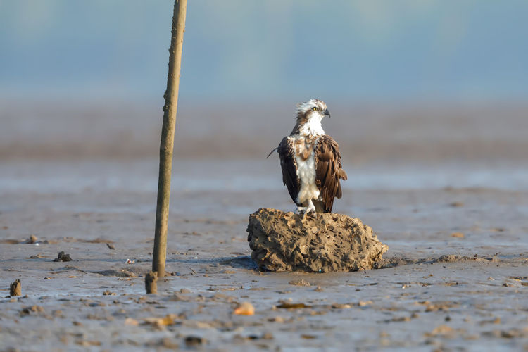 An osprey perched on a rock
