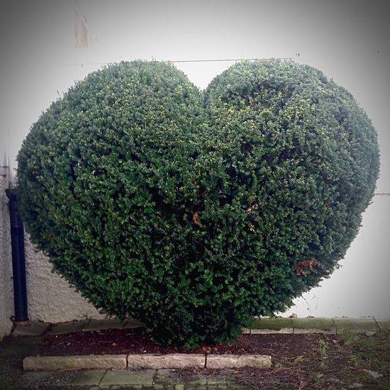 Shrubbery formed in the name of love but of nature's natural color. Nature Nature_collection EyeEm Nature Lover Green PreserveNature Heartbeat Moments Heart