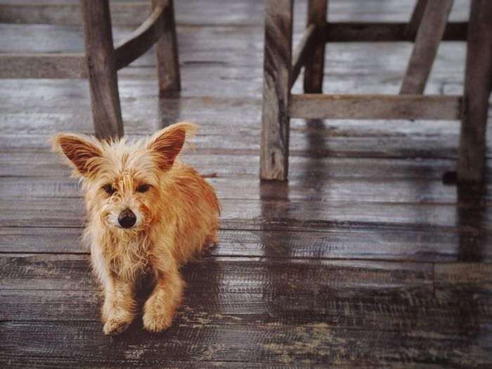 EyeEm Selects One Animal Animal Animal Themes Mammal Wood - Material No People Portrait Day Brown Domestic Animals Dog Looking At Camera Pets Vertebrate Canine Indoors  Domestic Flooring Wood