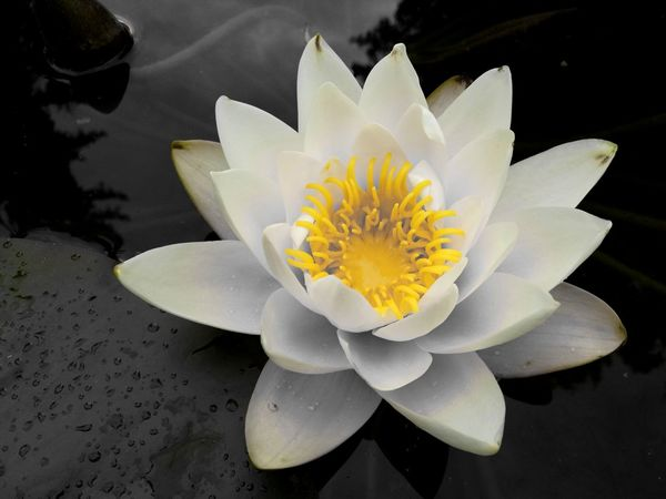 Tranquility Lotus Water Lily Lake Floating On Water Flower Head Freshness Water Lily Water Beauty In Nature Flower Nature Petal Plant Outdoors Growth Growth Exceptional Photographs Blooming Beautiful Nature EyeEmNewHere EyeEm Nature Lover EyeEm Flowers Collection Eye Em Nature Lover Nature EyeEm Best Shots Sommergefühle EyeEm Selects Neon Life