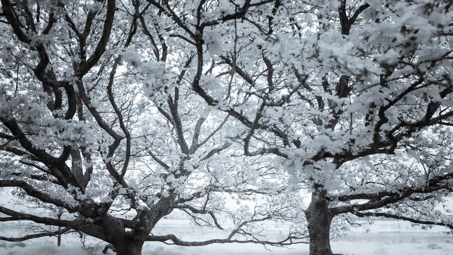 Tree Branch Nature Beauty In Nature Flower Low Angle View Winter Growth Snow Springtime Blossom Fragility No People Freshness Day Outdoors Tranquility Scenics Cold Temperature Sky Infrared