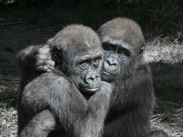 I'm here for you! Animal Themes Animal Wildlife Animals In The Wild Consoling Friendships Gorilla Love In Natur Love In Nature Portrait Togetherness Togetherness Friendship