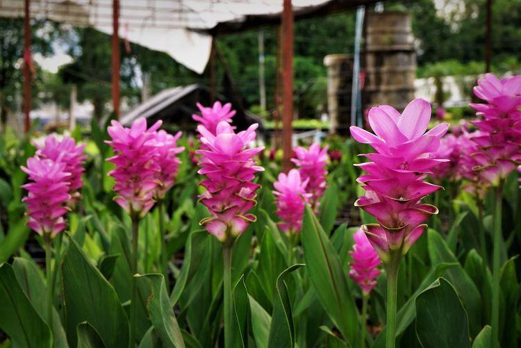 Siam of Tulip
