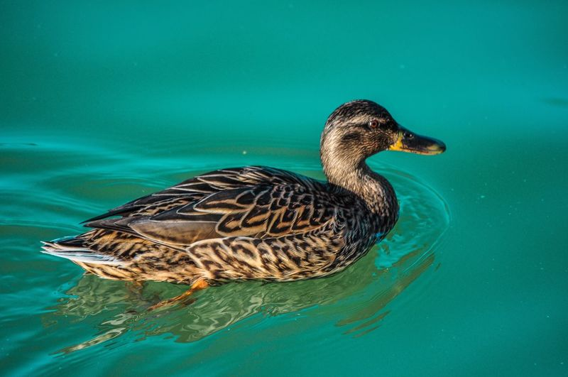 Close-up of a duck in lake