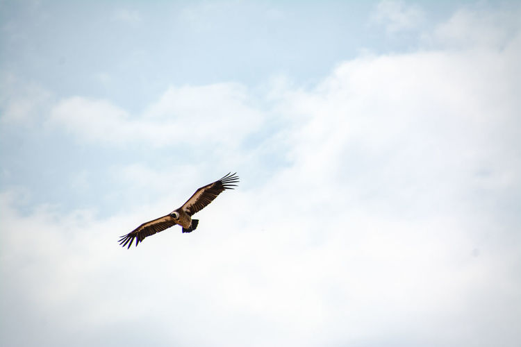 Flying Bird Animal Wildlife Vertebrate Animals In The Wild One Animal Animal Spread Wings Sky Animal Themes Cloud - Sky Low Angle View Mid-air Day Nature No People Outdoors Motion Freedom Bird Of Prey Eagle Vulture