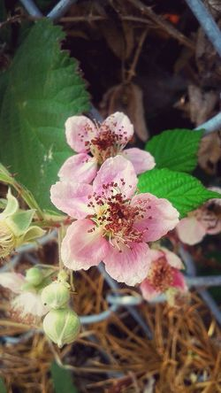 Blackberry Flowers Flowers Flowers,Plants & Garden Flower Photography Flowerporn Flower Porn Plants Nature Urban Nature