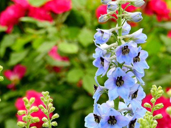 EyeEm Nature Lover Sky Blue Delphinium Rittersporn Flower Flowering Plant Plant Beauty In Nature Vulnerability  Close-up Freshness Focus On Foreground Nature No People Day Inflorescence Outdoors Flower Head Fragility