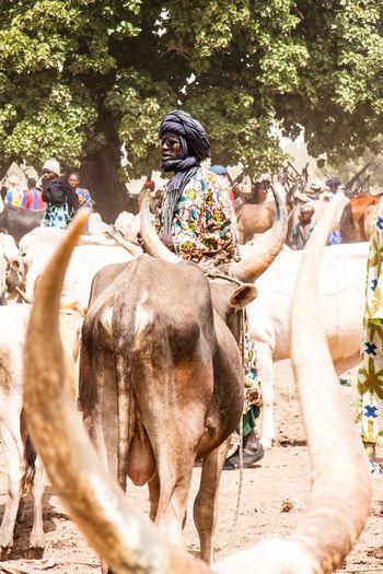 Man Standing By Bulls On Field In Village