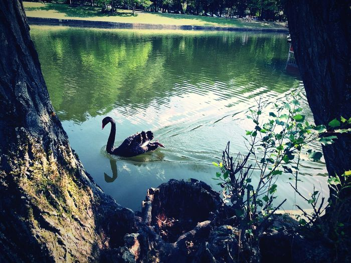 Black Swan Black Swan Three Outdoors Animal Themes Swimming Animals In The Wild Animal Animal Wildlife Lake