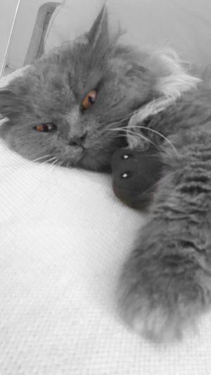 Luna'scat Blackandwhite Photography Black & White Petrolina Blackandwhite Ilovemycat Mycat Love Cat Mypet Black And Colors