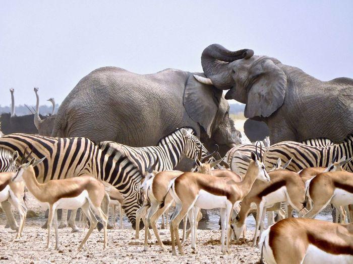 Safari animals on land against clear sky