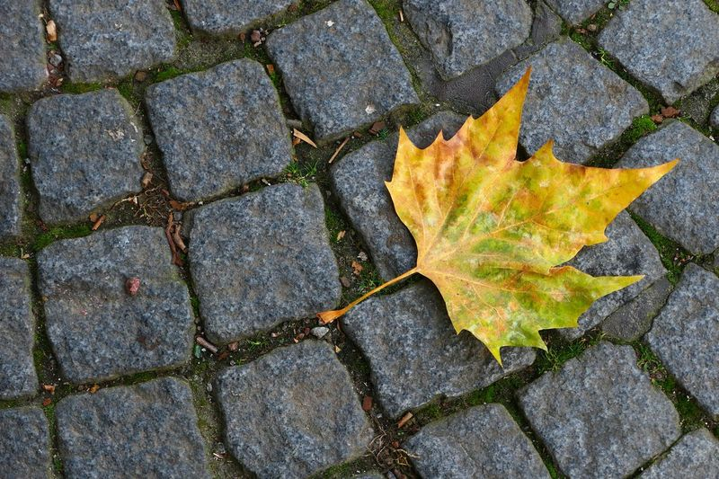 Close-up of yellow maple leaf on cobbled street