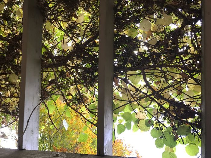Looking Up. Beauty In Nature No People Unedited IPhone Only Favorite Places Looking Up Autumn Wisteria