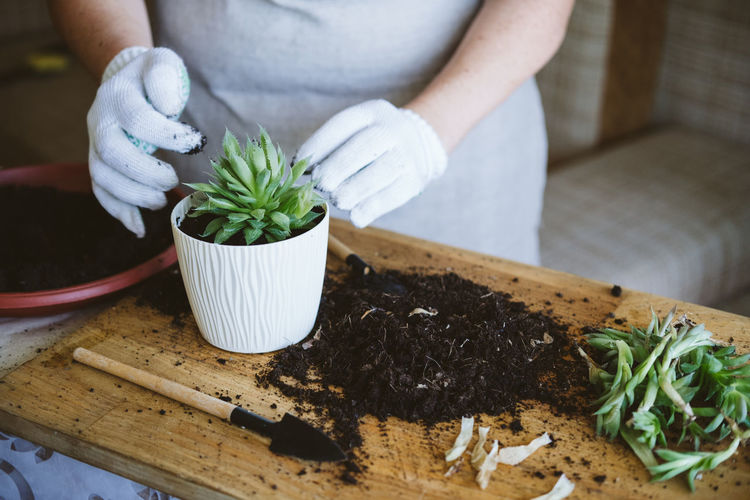 Home garden. how to transplant repot a succulent, propagating succulents. woman gardeners
