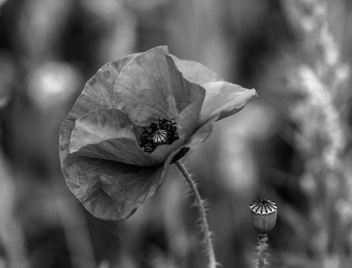 Poppy | black &