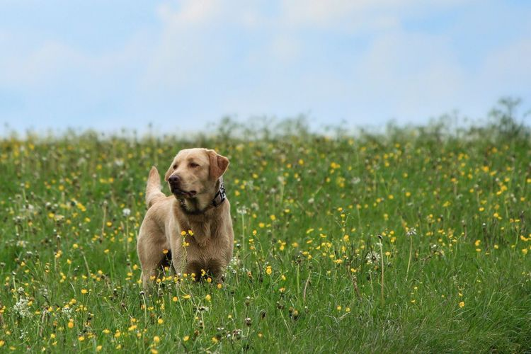 A Labrador's Spring; Dog Pets Grass Field One Animal Domestic Animals Nature Flower Outdoors Day No People Puppy Animal Themes Labrador Retriever Growth Mammal Sky Sitting Weimaraner Beauty In Nature EyeEmAnimalLover Eyeemdoglover EyeEm Best Shots Outdoor Photography Eyeemdogphoto